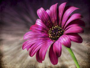 Margerite pink